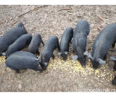 Свиње Моравке